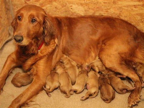 golden retriever puppies riverside ca akc breeders nh breeds picture