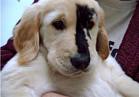black golden retriever puppies the black spot phenomenon attacks history