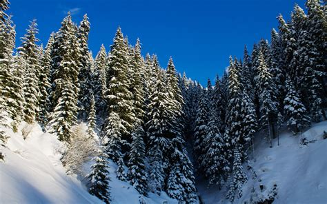 snowy fir trees wallpaper nature wallpapers 1334