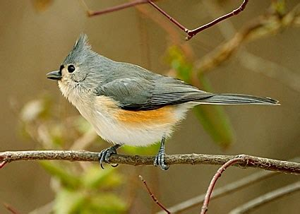 tufted titmouse celebrate urban birds