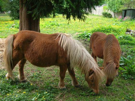 Shetland Pony 171 Caralockhartsmith