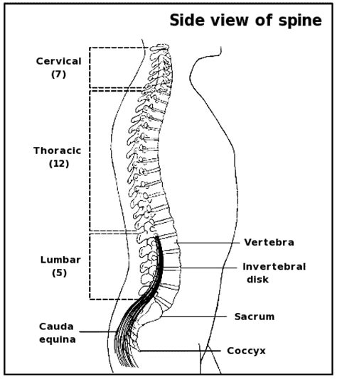 labeled vertebrae diagram the corticalcafe card maker bed mattress sale