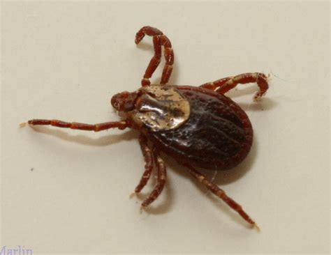 ticks on dogs images american tick dermacentor variabilis