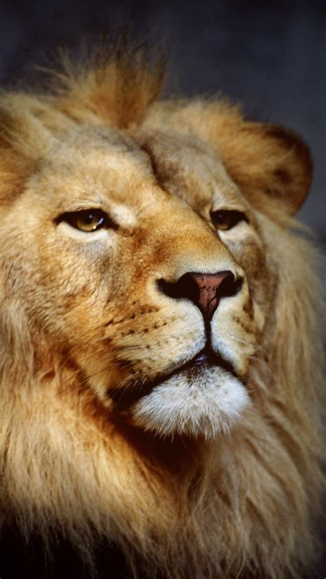 wallpaper for iphone lion hd lion wallpaper for iphone 6 plus the best lion in 2018