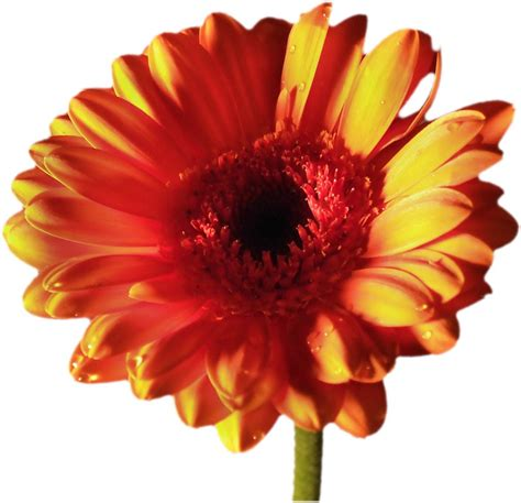 Gerbera Designs Xl Messenger by Free Orange And Yellow Gerbera Stock Photo Freeimages