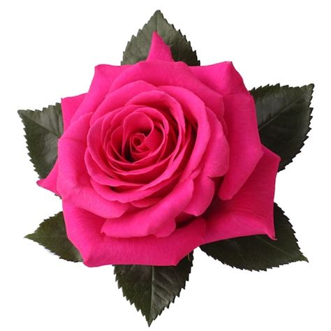Floy Fuschia pink floyd fiorentina flowers for sale on ecuador
