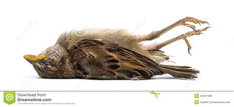Dead House Sparrow Stock Photo Image Of Wildlife Shot Dead Sparrow