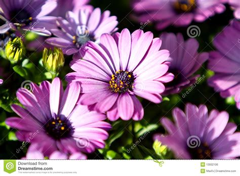 Gerber Daisies by Purple Gerbera Daisy Flowers Royalty Free Stock Image