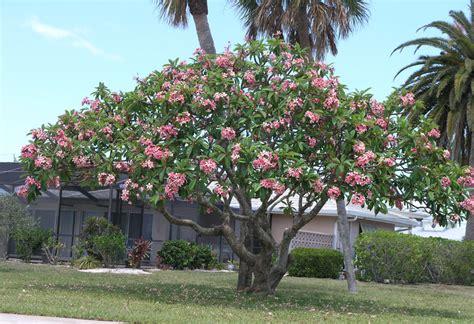 plumeria trees  exotic plumeria
