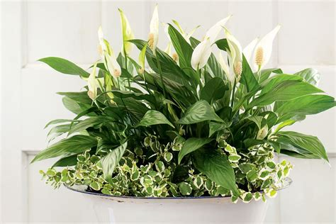 plant health can this peace lily be saved gardening 4 best indoor plants for apartments that purify air and