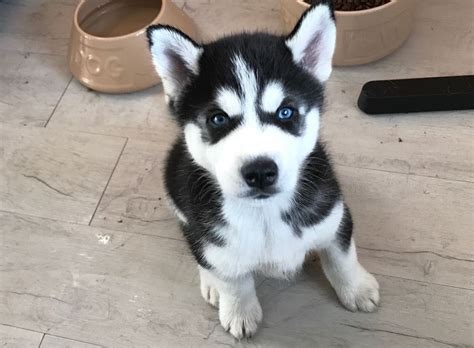 husky puppies blue amazing blue eyed husky puppy in stratford gumtree
