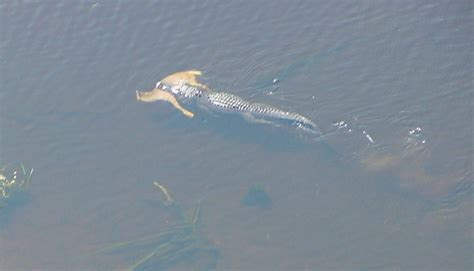 Alligator With Deer In Mouth
