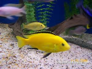 Electric Yellow Cichlids (labidochromis caeruleus) Profile