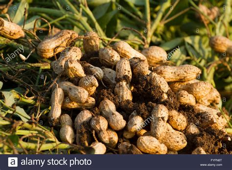 how to grow peanuts an easy guide for gardening beginners peanuts growing in a field photographed in israel stock