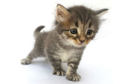cats breeders 1000 ideas about siberian cat breeders on