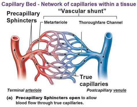fluid exchange in capillaries at queen s university