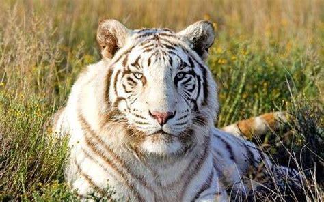 Dormir Avec Les Tigres 1257 by Au Zoo De La Fl 232 Che On Peut Dormir Avec Les Tigres