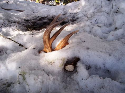 How Often Do Deer Shed Their Antlers by For Deer How To Finding Shed Antler The Best And Most Complete Tips