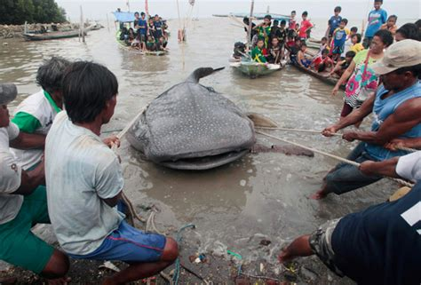 baby shark jakarta dead whale shark hauled ashore in indonesia 1 chinadaily