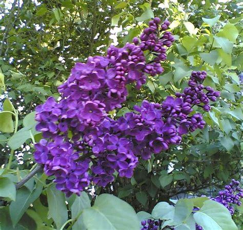 purple lilac purple lilacs digitally edited photo flickr photo