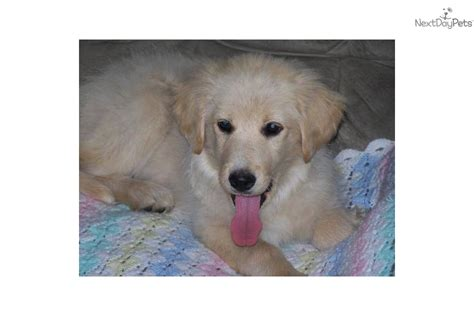 golden pyrenees puppies for sale great pyrenees puppy for sale near northeast sd south dakota caadd6ca cae1
