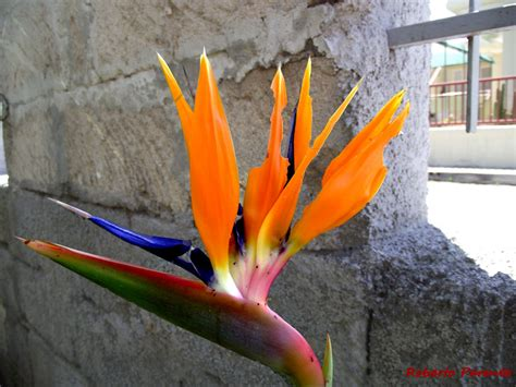 fiori creste di gallo fotografia naturalistica sterlizia