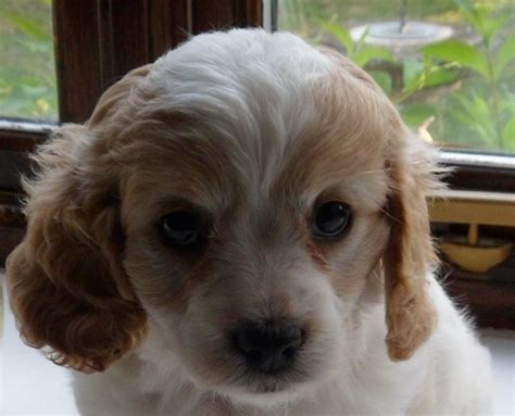rescue puppies for sale cavapoo rescue puppies for sale breeds picture