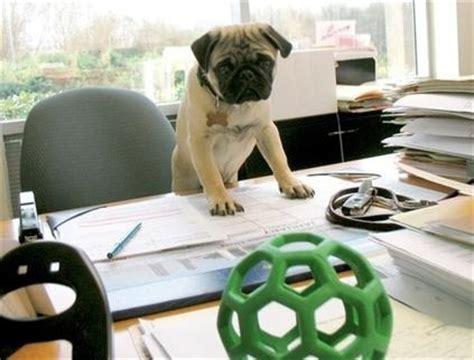 pug to work pug at work pugs