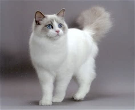 ragdoll weight size and weight of ragdoll cat many