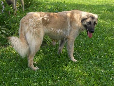 German Shepherd Shedding Problems by German Shepard Mix Is Shedding Problems Yahoo
