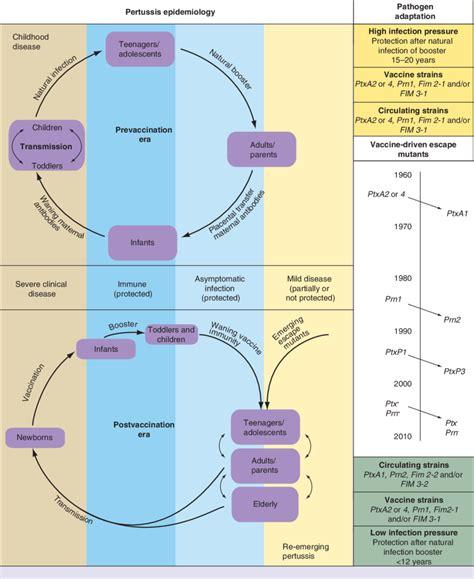 pertussis epidemiology  evolution  bordetella pertussis  scientific