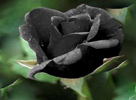 Black Rose Flower Rare ! 5 Seeds!   Buy Online in UAE
