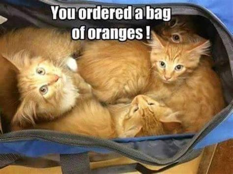 Orange Dog Meme - you ordered a bag of oranges cute cat meme funny pet