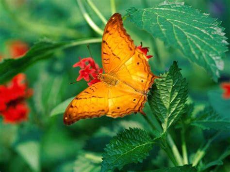 imagenes de mariposas national geographic 7art butterfly screensaver slideshow screensaver with