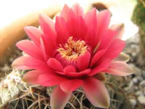 flowers for flower lovers cactus flowers photos