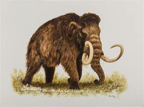 mammoth images woolly mammoth bering land bridge national preserve u s