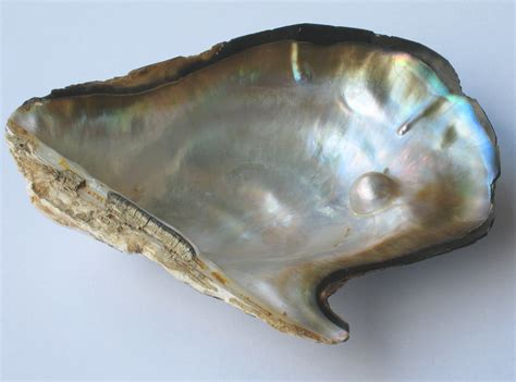 File:Pearl oyster.jpg - Wikimedia Commons