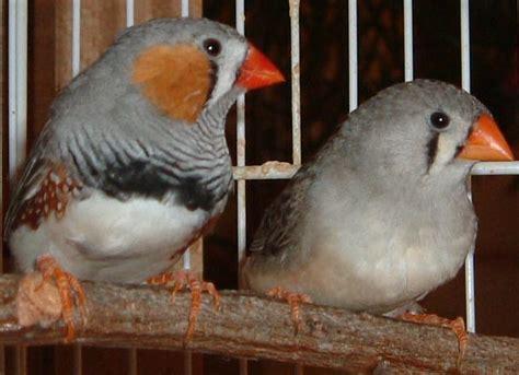 canarini riproduzione in gabbia il diamantino mandarino uccelli da voliera
