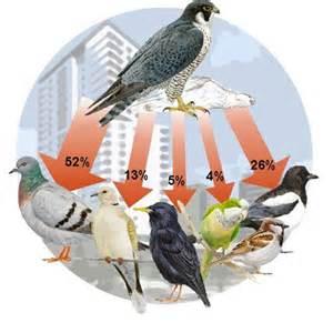 peregrine falcons of nova scotia macguire s totally