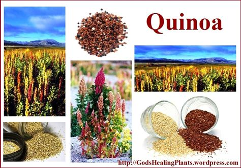 quinoa the perfect protein source for vegetarians and
