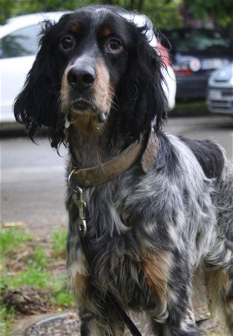 definition de setter diablo chien setter anglais 224 adopter dans la r 233 gion