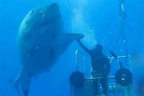 what is the largest great white shark ever recorded primer video scientist high fives one of biggest great white