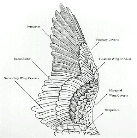 wing diagram birds of a feather update wing anatomy and joints