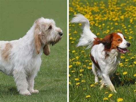 american kennel club dog breeds american kennel club adds 2 new dog breeds nederlandse