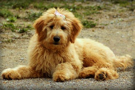 havanese cockapoo gratis afbeeldingen fotografie puppy dier schattig hoektand huisdier gouden