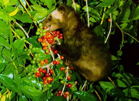 Terlaris Kopi Arabica Gayo Black Honey Process 100 Gr Biji Dan kopi luwak gold label bengkulu western sumatra