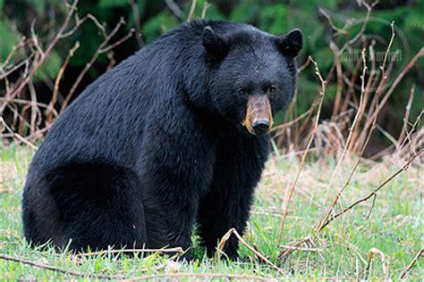 big black bear john e marriott s canadian wildlife and nature photography