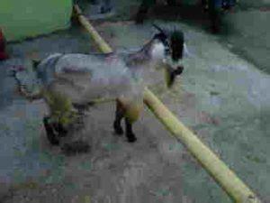 Jual Bibit Kambing Gibas Jawa Tengah jual bibit kambing ambarawa daging kambing