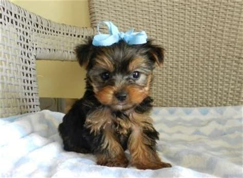 miniature yorkies for sale in louisiana les 25 meilleures id 233 es de la cat 233 gorie yorkie sur yorkie tasses de