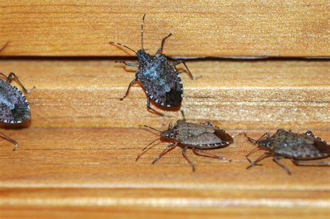 stink bugs in house stink bugs westchester tree life